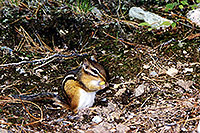 /images/133/1997-09-tema-chipmunk-egg.jpg - #00053: chipmunk at Lake Temagami … Sept 1997 -- Anima Nipissing Lake, Temagami, Ontario.Canada