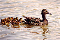 /images/133/1998-05-duck-family1.jpg - #00080: Duck family in Brampton … May 1998 -- Brampton, Ontario.Canada
