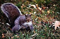 /images/133/1998-11-windsor-squirrel.jpg - #00177: Squirrel in Windsor … Nov 1998 -- Windsor, Ontario.Canada