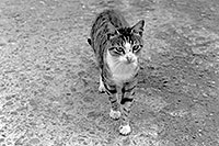 /images/133/1998-12-greece-castle-catbw.jpg - #00198: cat at a castle near Sparti … Dec 1998 -- Sparti, Greece