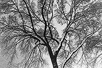 /images/133/1999-02-chicago-trees-bw1.jpg - #00263: a snowy February along Michigan Avenue … Feb 1999 -- Chicago, Illinois