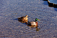 /images/133/1999-03-chicago-ducks1.jpg - #00286: ducks at Lake Michigan … March 1999 -- Chicago, Illinois