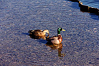 /images/133/1999-03-chicago-ducks2.jpg - #00287: ducks at Lake Michigan … March 1999 -- Chicago, Illinois