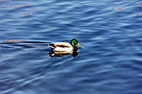/images/133/1999-03-chicago-ducks3.jpg - #00288: ducks at Lake Michigan … March 1999 -- Chicago, Illinois