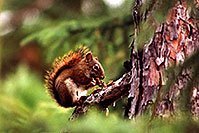 /images/133/1999-08-temagami-squirrel.jpg - #00368: red squirrel at Anima Nipissing Lake … August 1999 -- Anima Nipissing Lake, Temagami, Ontario.Canada