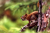 /images/133/1999-08-temagami-squirrel2.jpg - #00369: red squirrel at Anima Nipissing Lake … August 1999 -- Anima Nipissing Lake, Temagami, Ontario.Canada