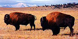 /images/133/1999-09-buffalos-pano.jpg - #00368: Buffalo in Hartsel, Colorado … Sept 1999 -- Hartsel, Colorado