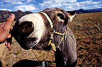 /images/133/1999-09-colo-donkey-kiss.jpg - #00372: near Leadville, Colorado … Sept 1999 -- Leadville, Colorado