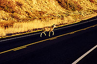 /images/133/1999-09-colorado-deer-crossing.jpg - #00374: Deer crossing the road … Sept 1999 -- Sargeants, Colorado