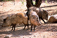 /images/133/2000-07-zoo-boars3.jpg - #00530: Javalinas at Phoenix Zoo … July 2000 -- Phoenix Zoo, Phoenix, Arizona