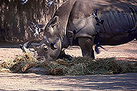 /images/133/2000-07-zoo-hippo2.jpg - #00534: Rhino at the Phoenix Zoo … July 2000 -- Phoenix Zoo, Phoenix, Arizona