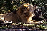 /images/133/2000-07-zoo-lion1.jpg - #00536: Lion at the Phoenix Zoo … July 2000 -- Phoenix Zoo, Phoenix, Arizona