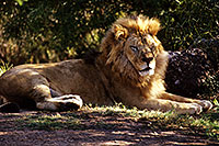 /images/133/2000-07-zoo-lion2.jpg - #00537: Lion at the Phoenix Zoo … July 2000 -- Phoenix Zoo, Phoenix, Arizona