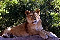 /images/133/2000-07-zoo-lionness.jpg - #00538: Lioness at the Phoenix Zoo … July 2000 -- Phoenix Zoo, Phoenix, Arizona