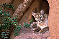 /images/133/2000-07-zoo-puma.jpg - #00545: Puma (Mountain Lion) at the Phoenix Zoo … July 2000 -- Phoenix Zoo, Phoenix, Arizona