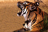 /images/133/2000-07-zoo-tiger2.jpg - #00547: Tiger …Phoenix Zoo … July 2000 -- Phoenix Zoo, Phoenix, Arizona