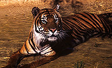 /images/133/2000-07-zoo-tiger3.jpg - #00548: Tiger …Phoenix Zoo … July 2000 -- Phoenix Zoo, Phoenix, Arizona