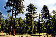 /images/133/2000-08-flagstaff-woods2.jpg - #00557: hiking by Flagstaff … August 2000 -- Flagstaff, Arizona