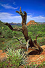 /images/133/2000-08-sedona-dogie-tree.jpg - #00594: Dogie Trail in Sycamore Canyon … August 2000 -- Sedona, Arizona