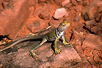 /images/133/2000-08-sedona-lizard.jpg - #00598: lizard along Dogie Trail in Sycamore Canyon … August 2000 -- Phoenix, Arizona
