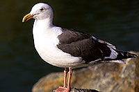 /images/133/2000-11-cali-seagull2.jpg - #00696: Seagull at Dana Point … Nov 2000 -- Dana Point, California