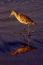 /images/133/2001-02-beach-sandpiper2-v.jpg - #00760: Marbled Godwit in South Carlsbad … Feb 2001 -- South Carlsbad, California