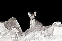 /images/133/2001-08-squaw-ringtail.jpg - #00887: Ringtail at Squaw Peak … August 2001 -- Squaw Peak, Phoenix, Arizona