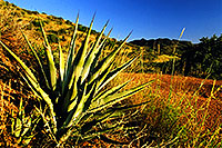 /images/133/2001-09-supersti-reavis1.jpg - 00905: Agave Plant at Reavis Ranch Trail … Sept 2001 -- Reavis Ranch Trail, Superstitions, Arizona