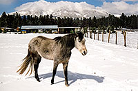/images/133/2003-03-snowbowl-horse-close.jpg - #01177: horses near Snowbowl … March 2003 -- Humphreys Peak, Snowbowl, Arizona