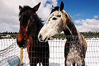 /images/133/2003-03-snowbowl-horses-2.jpg - #01178: horses near Snowbowl … March 2003 -- Humphreys Peak, Snowbowl, Arizona