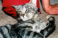 /images/133/2003-05-paravil-cat13.jpg - #01219: The prettiest, friendliest stray cat … May 2003 -- Phoenix, Arizona