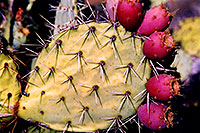/images/133/2003-06-saguaro-cactus-spik.jpg - #01245: Purple fruit on prickly pear cactus by Saguaro Lake … June 2003 -- Saguaro Lake, Arizona