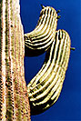 /images/133/2003-06-saguaro-cactus1-v.jpg - #01221: Saguaro cactus by Saguaro Lake … June 2003 -- Saguaro Lake, Arizona