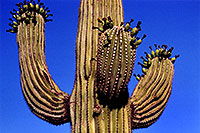 /images/133/2003-06-saguaro-cactus3.jpg - #01241: Green fruit on Saguaro cactus by Saguaro Lake … June 2003 -- Saguaro Lake, Arizona