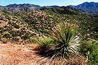/images/133/2003-06-supersti-view1.jpg - #01266: Sotol Plant in Superstition Mountains … June 2003 -- Reavis Ranch Trail, Superstitions, Arizona
