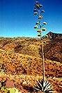 /images/133/2003-06-supersti-view3.jpg - #01268: Agave Plant in Superstition Mountains … June 2003 -- Reavis Ranch Trail, Superstitions, Arizona
