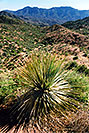 /images/133/2003-06-supersti-view5-v.jpg - #01252: Sotol Plant in Superstition Mountains … June 2003 -- Reavis Ranch Trail, Superstitions, Arizona
