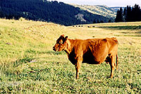 /images/133/2003-08-colorado-cows.jpg - #01287: Cows in Colorado … August 2003 -- Colorado