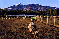 /images/133/2003-08-humphreys-view5.jpg - #01309: horses near Snowbowl, with Humphrey