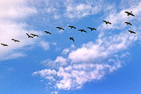 /images/133/2003-11-littleton-geese-sky.jpg - #01361: geese in the sky … Nov 2003 -- Littleton, Colorado
