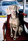/images/133/2003-12-billy-tara-chair-v.jpg - #01366: Tara (Weimaraner) in Littleton … Dec 2003 -- Littleton, Colorado