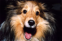 /images/133/2004-04-boulder-sheltie1.jpg - #01433: (Sheltie) in Boulder … April 2004 -- Boulder, Colorado