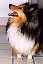 /images/133/2004-04-boulder-sheltie2.jpg - #01434: (Sheltie) in Boulder … April 2004 -- Boulder, Colorado