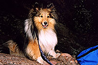 /images/133/2004-04-boulder-sheltie3.jpg - #01435: (Sheltie) in Boulder … April 2004 -- Boulder, Colorado