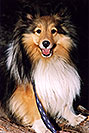 /images/133/2004-04-boulder-sheltie4.jpg - #01436: (Sheltie) in Boulder … April 2004 -- Boulder, Colorado
