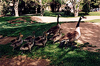 /images/133/2004-06-englewood-geese-fa1.jpg - #01526: Geese family in Englewood … normally there is 6 kids, here it is 7 … June 2004 -- Englewood, Colorado