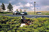 /images/133/2004-06-englewood-nest1.jpg - #01530: goose nesting in Englewood … June 2004 -- Englewood, Colorado
