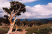 /images/133/2004-06-mtevans-bottom-tree.jpg - #01531: Bristlecone Pine trees - they are hundreds of years old, oldest here are 1,700 years old … near start of Mt Evans road … June 2004 -- Mount Evans Road, Mt Evans, Colorado