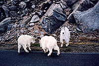 /images/133/2004-06-mtevans-goats-playing.jpg - #01555: young Mountain Goats playing as mother keeps watch … June 2004 -- Mount Evans Road, Mt Evans, Colorado