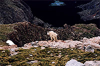 /images/133/2004-06-mtevans-goats1.jpg - #01548: Mountain Goat view down Mt Evans … June 2004 -- Mt Evans, Colorado